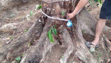 Cách trồng và chăm sóc cây vú sữa mới bứng. Cách đào chuyển