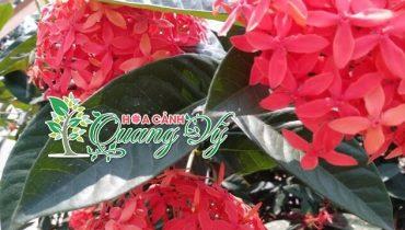 Giá cây hoa mẫu đơn ta: Màu đỏ, vàng, trắng, hồng nhung, lá nhỏ, lá trung, lá lớn