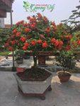 Cây hoa mẫu đơn Ta đỏ