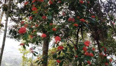 Báo giá cây hoa mẫu đơn Rừng mua bán số lượng sỉ 2021