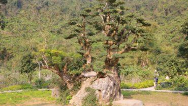 Top 10 Cây duối cảnh, bonsai, cổ thụ, tự nhiên đẹp tiền tỷ 2021