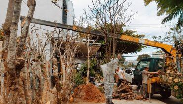 Dịch vụ Đào, Bứng, di dời cây cảnh thuê tại Đà Nẵng giá rẻ