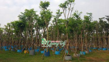 [Bảng Giá] Cây Công Trình, Cây Xanh Đô Thị tại Đà Nẵng Giá Rẻ 2021