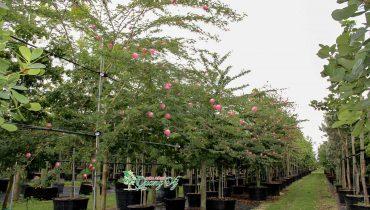 Cây kiều hùng bonsai. Mua bán, báo giá, cách trồng, nhân giống