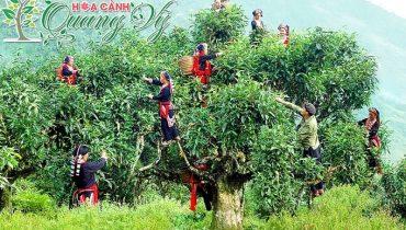 Giá cây Chè xanh cổ thụ, lâu năm dùng làm cảnh, bonsai đẹp nhất Việt Nam