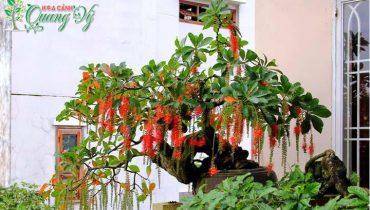 Cách tạo thế, tạo dáng, uốn chăm sóc cây Lộc Vừng bonsai cảnh