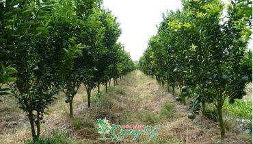 10 Cây ăn quả trồng trên đất ruộng hiệu quả kinh tế 2021