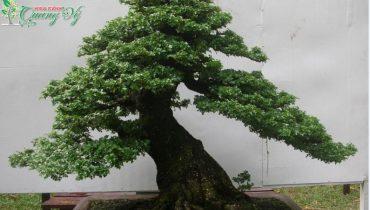 Cây cần thăng bonsai hợp mệnh gì, ý nghĩa, cách trồng và chăm sóc