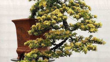 99 cây bông trang (mẫu đơn) đẹp nhất Việt Nam, 168 triệu, bonsai, khủng, núi, rừng