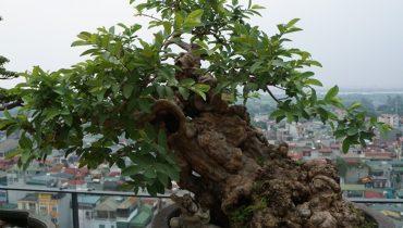 Cách trồng và tạo dáng cây Ổi bonsai, mới bứng, Ổi Cảnh đẹp nhất