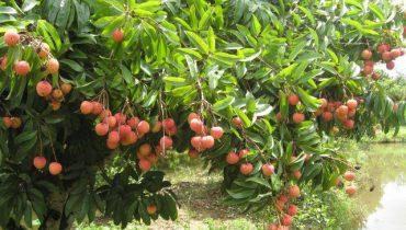 20+ Loại cây ăn quả nhiệt đới trồng ở Việt Nam ưu chuộng