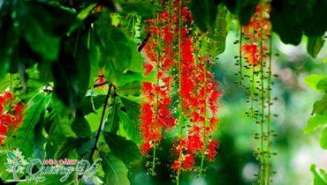 99 Cây lộc vừng bonsai, cảnh đẹp dáng thác đổ, trực đẹp nhất VN 2021