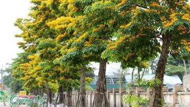 Cây giáng hương rừng trồng bao lâu có giá trị thu hoạch được