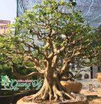 cay-nguyet-que-bonsai-dep