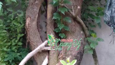 10 Cây dâu tằm bonsai đẹp, Cổ thụ đẹp nhất Viêt Nam 2021