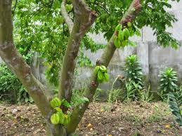 Kỹ thuật trồng và chăm sóc cây khế mới bứng tỉ lệ sống 99%