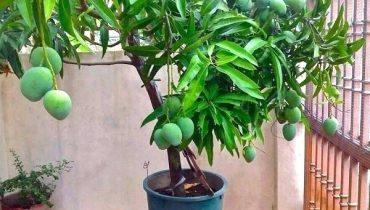 Bán, báo giá Cây Xoài công trình tại Đà Nẵng 2021. Bao trồng sống 100%