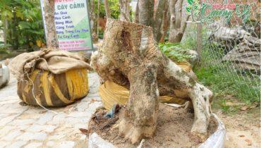 Giá cây bằng lăng cảnh, bonsai, cổ thụ đẹp nhất Việt Nam 2021