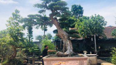 Giá cây Duối cảnh, bonsai, cổ thụ, rừng tự nhiên đẹp nhất Việt Nam