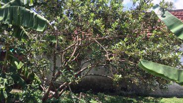 Giá cây sim cảnh, bonsai, sim rừng, cổ thụ lâu năm đẹp nhất Việt Nam