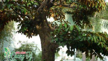 Giá cây vú sữa công trình, cây trưởng thành, cảnh bonsai, cổ thụ 2021