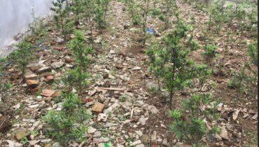 Giá bán cây tùng la hán bao nhiêu 2021? Mua ở đâu đẹp nhất?