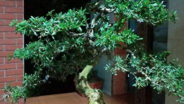 Giá cây Linh Sam núi, 86 bonsai đẹp nhất Việt Nam? Mua ở đâu?