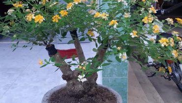 Giá cây hoa ngũ sắc cảnh, bonsai hoa đẹp nhất Việt Nam 2021