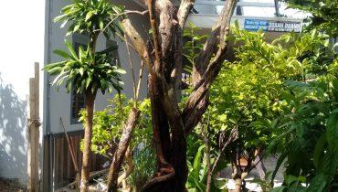 Mua Bán Cây Ăn Trái Lớn, lâu năm, cổ thụ, cảnh, bonsai đẹp 2021