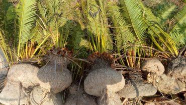 Giá bán cây Thiên Tuế Rừng cổ thụ, đã ra hoa đẹp 2021
