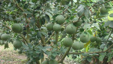 31 Giống Cây ăn quả trồng miền Bắc hiệu quả kinh tế cao, siêu lợi nhuận
