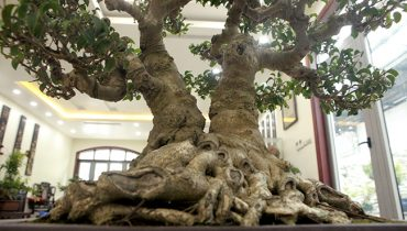 20+ cây bonsai dáng phú thê đẹp, nghệ thuật mỹ văn nhất việt nam 2021