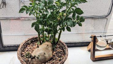 Cách trồng bonsai khoai tây dễ. Xem 50+ mẫu đẹp nhất hiện nay