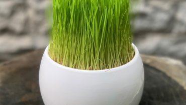 Cách trồng lúa non làm cảnh (thủy sinh) trong nước đẹp dân giã
