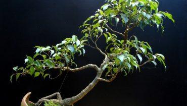 20 cây bonsai dáng nghiêng, đổ đẹp, khủng, đắt nhất việt nam 2021