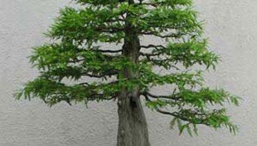 20 cây Bonsai dáng trực văn nhân, lắc, quân tử, huyền đẹp nhất việt nam
