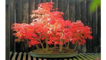 50 Bệ Bonsai cụm rừng cây đẹp, tiểu cảnh rừng cây độc đắt nhất việt nam