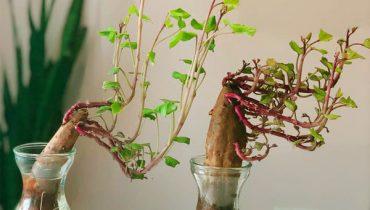 Cách trồng khoai lang cảnh, thủy sinh từ củ dễ đơn giản mà đẹp