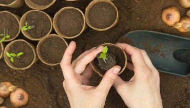 Cách trồng cây măng cụt, kỹ thuật chăm sóc nhanh ra trái