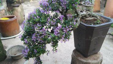 10 Cây sam núi trái bonsai đẹp nhất, có giá trị khủng nhất 2021