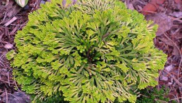 Cây trường sinh thảo là cây gì? tác dụng gì, cách trồng và chăm sóc