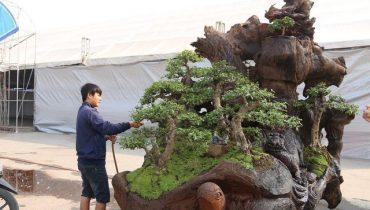 150 Cây bonsai lũa đẹp, cổ kỳ quái, hàng đẹp khủng nhất việt nam