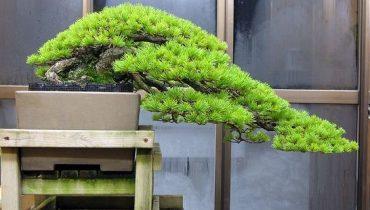 """Cách uốn cây cảnh, bonsai tạo dáng thác đổ """"đẹp như mơ"""""""