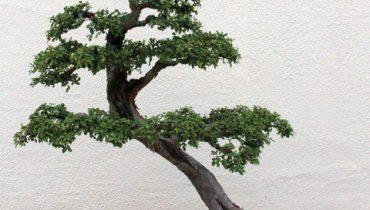 Cây Du bonsai hợp mệnh gì, ý nghĩa, cách trồng và chăm sóc