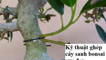 Kỹ thuật và cách ghép cây sanh, ghép rễ vào đá đẹp như ý