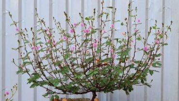 Top 10+ Cây hoa trinh nữ bonsai đẹp nhất 2021